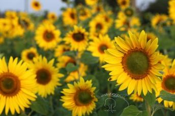 sonnenblumen mit logo
